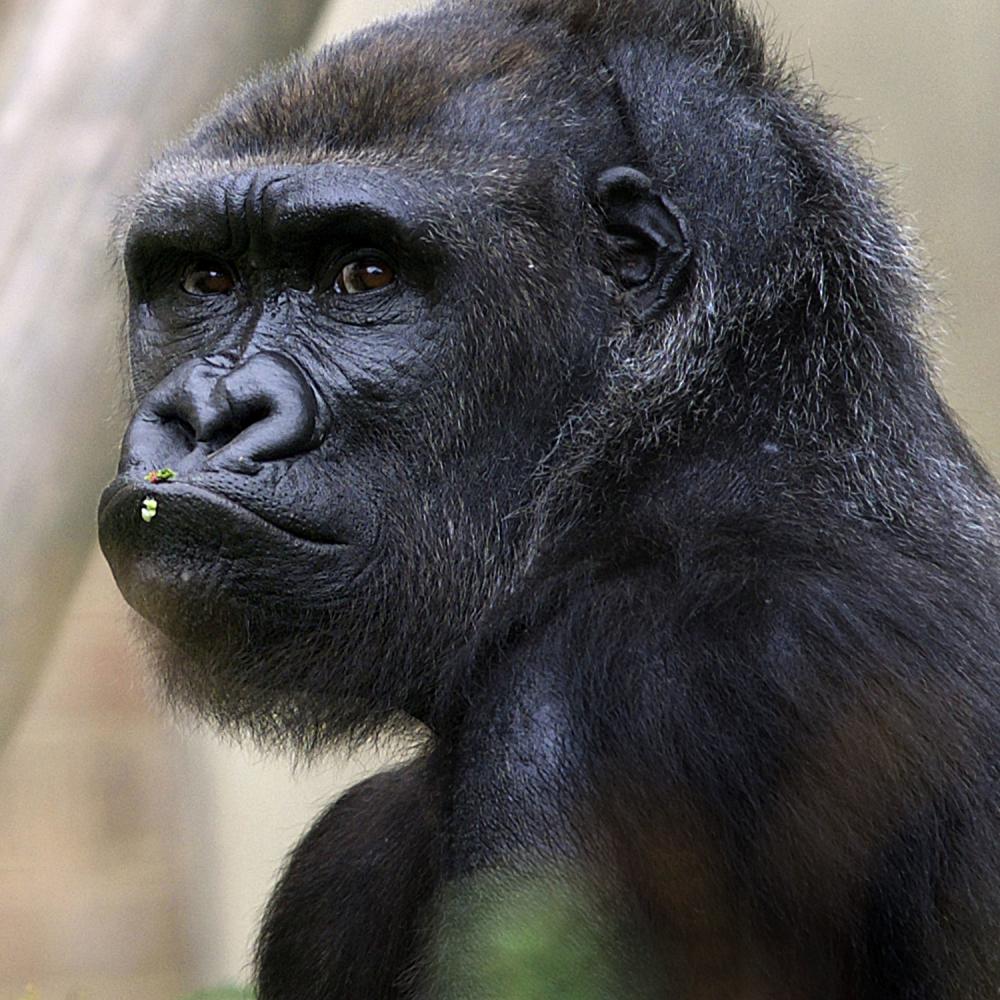 Najavili-premijerku-objavili-snimak-gorile