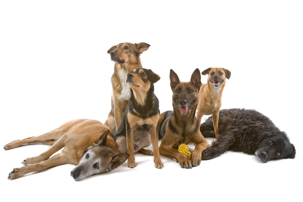 Pas Psi Kućni ljubimac ljubimci