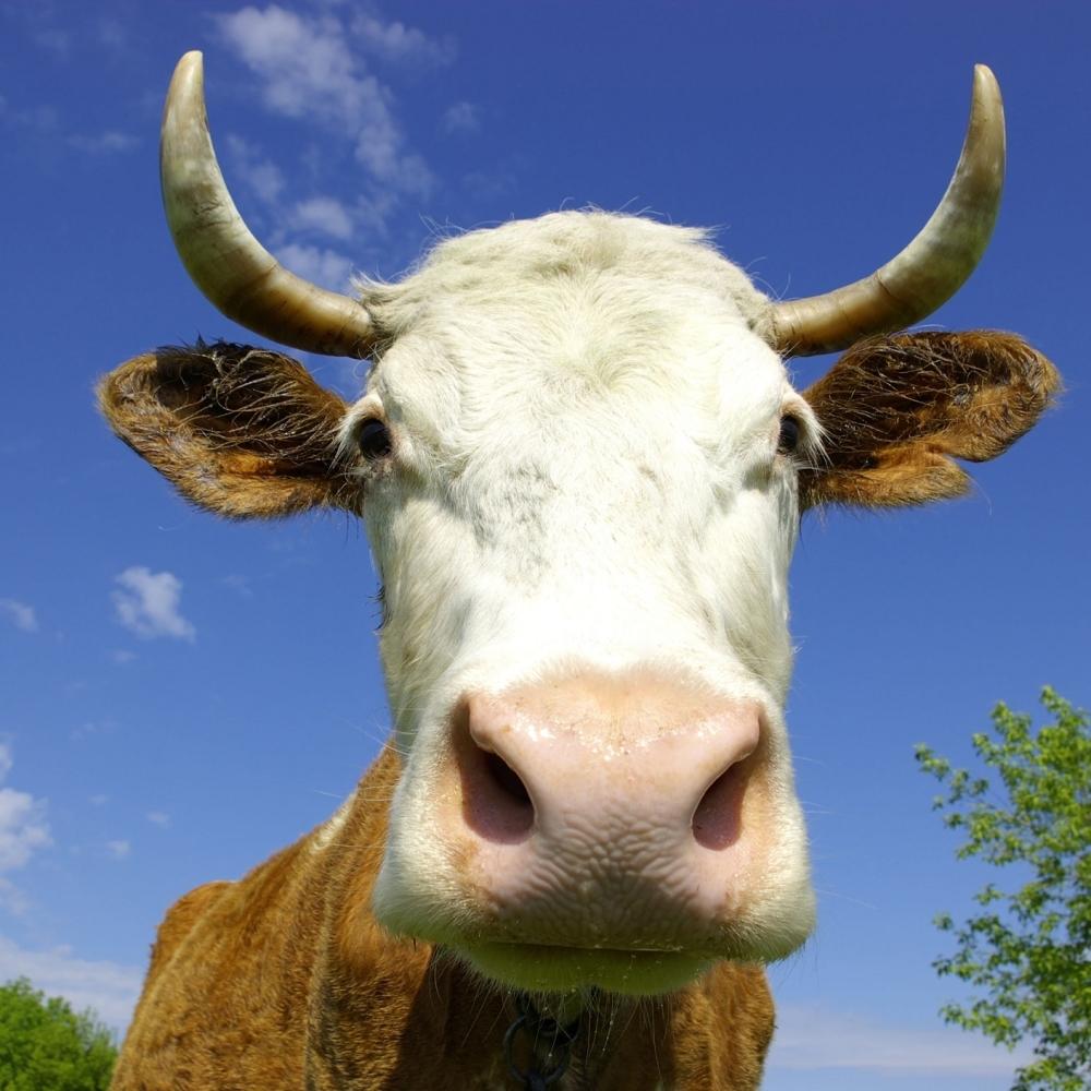 Menja-zenu-za-dobru-kravu