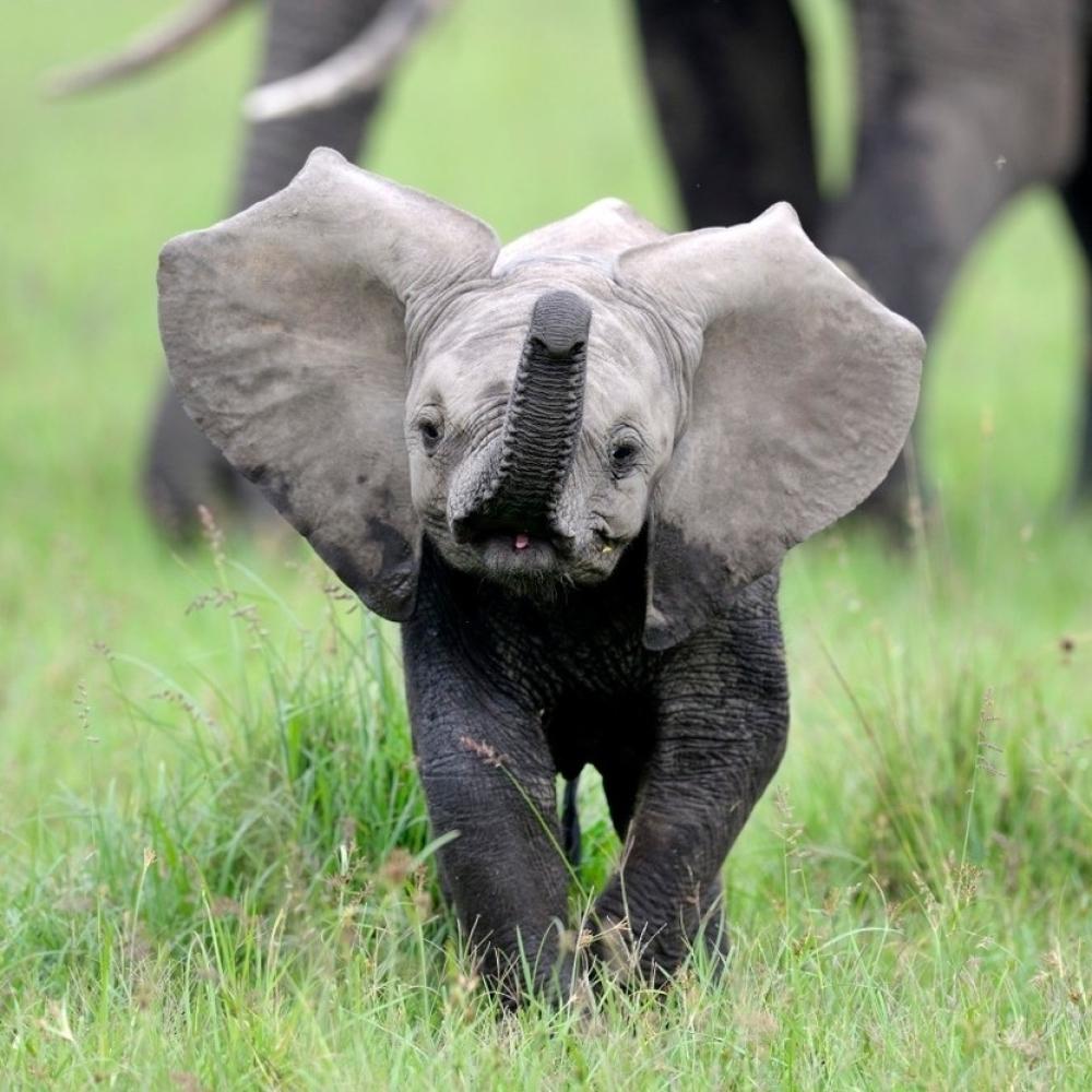 Slon-se-bacio-u-reku-da-spase-davljenika