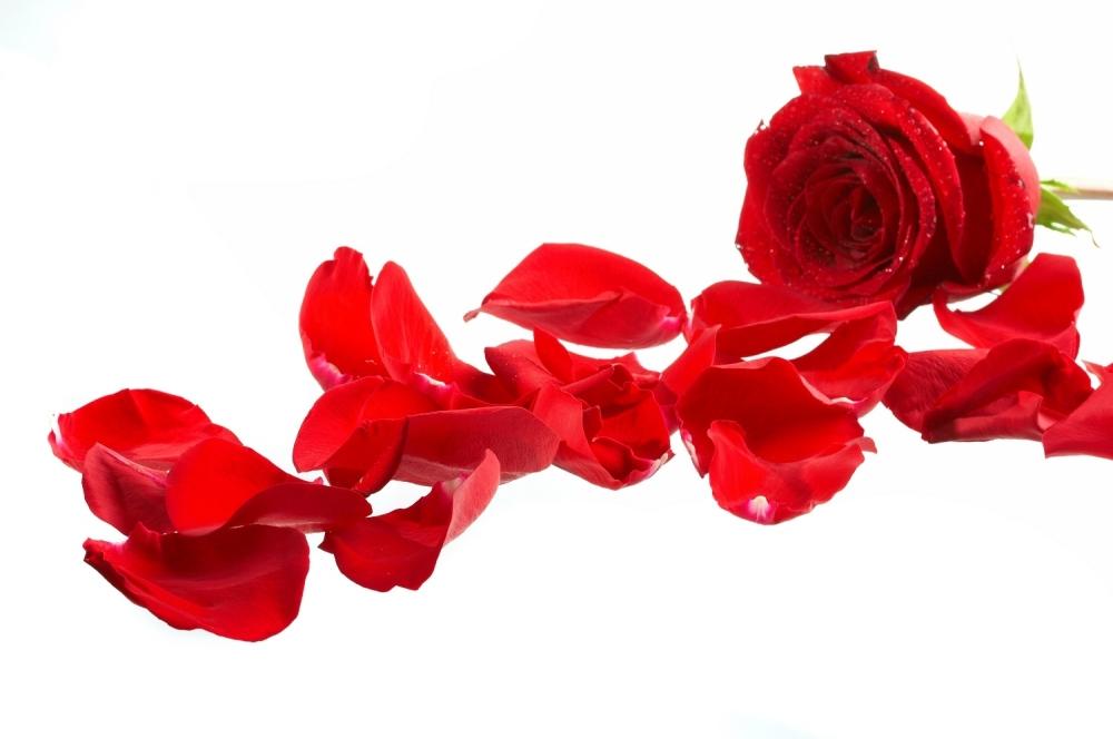 Ruža Ruže