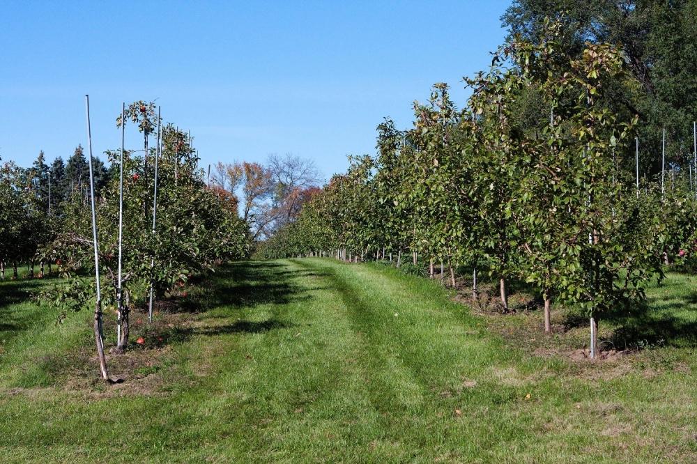 Voćnjak Stabla drveće jabuke Jabuka