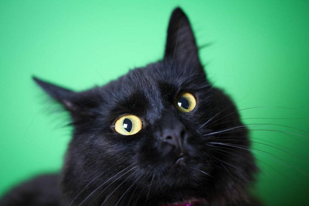Liže veliku crnu macu