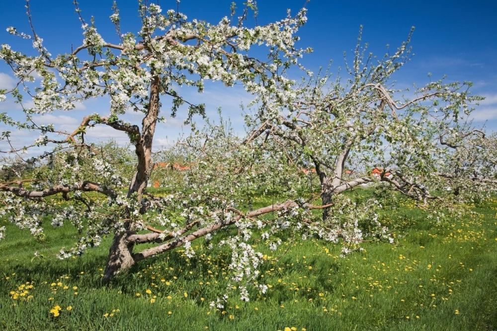 Proleće Jabuka u cvatu