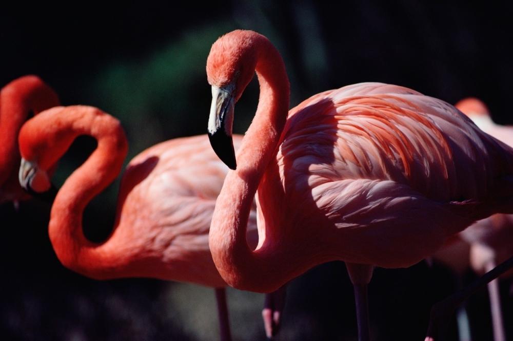 Flamingos, flamingosi