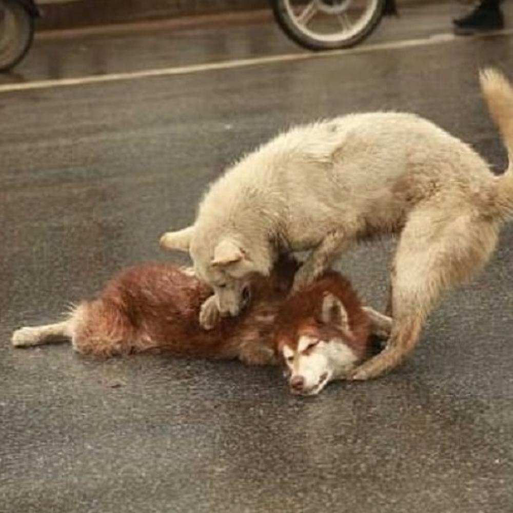 Pas-pokusava-da-probudi-svog-pregazenog-drugara