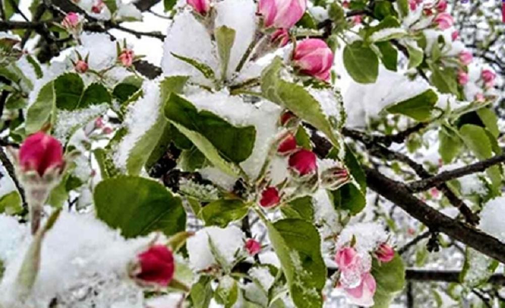 Ivanjica maline sneg