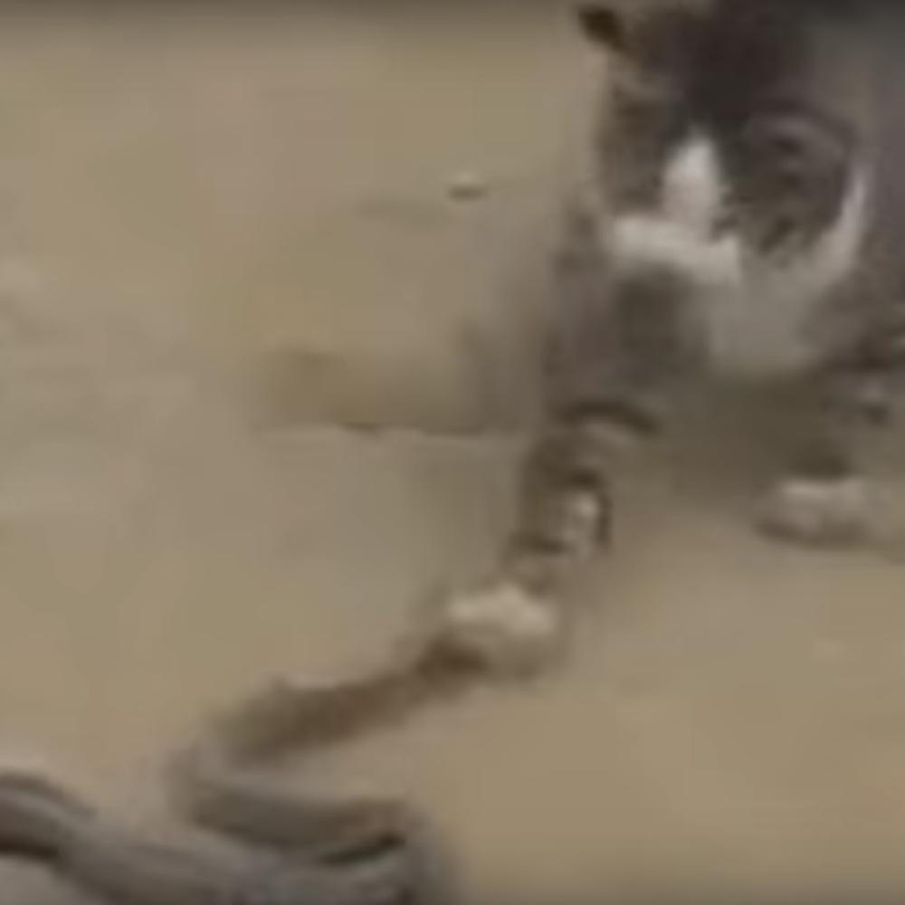 Sta-mislite-ko-pobedjuje-u-borbi-izmedju-domace-macke-i-poskoka-VIDEO