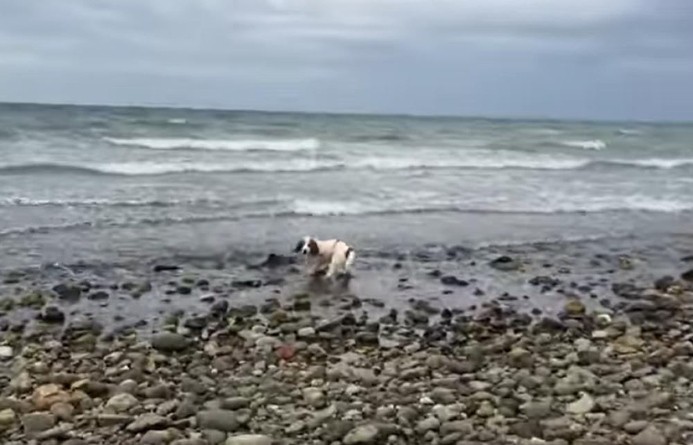 Pas spasava delfina