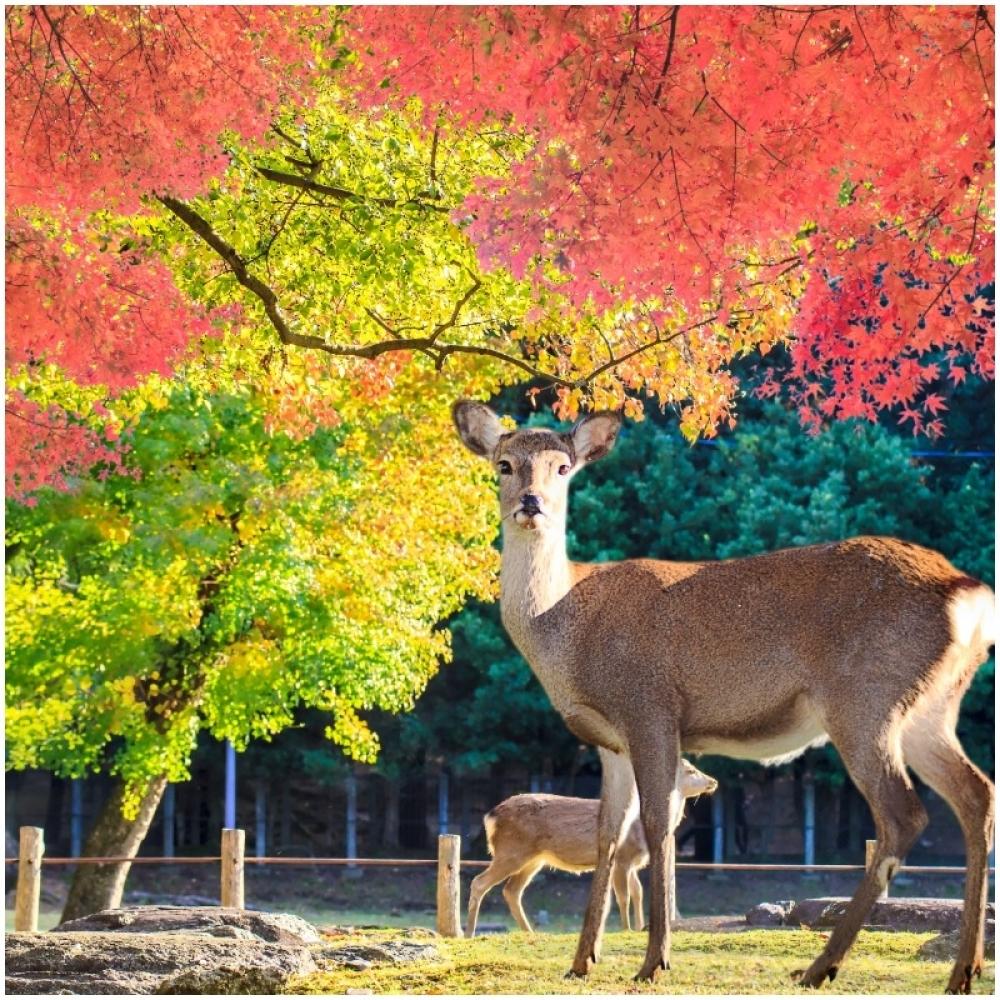 japan, nara, park, jelen